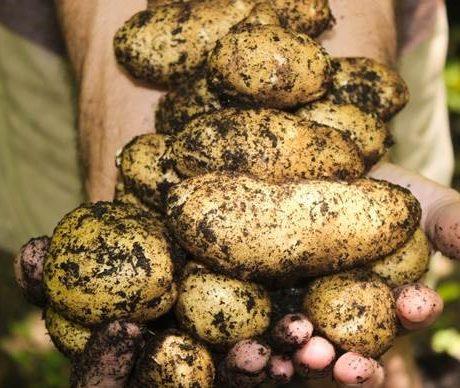 Пять способов чистки картофеля
