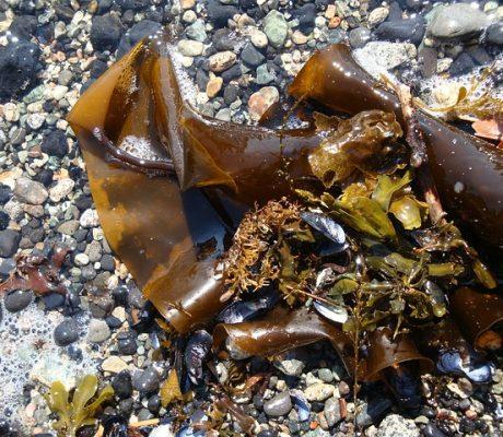 Морская капуста: польза, вред, как выбрать