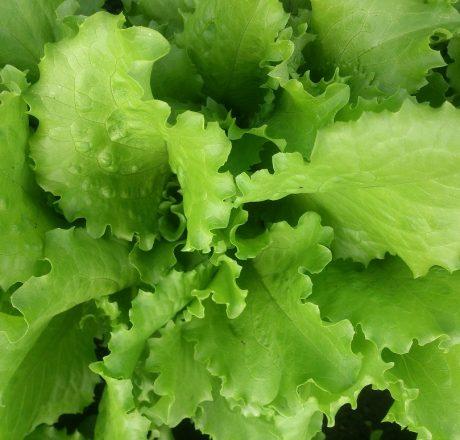 Полезные свойства листовых салатов