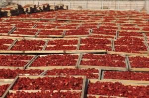 Сушка помидоров на свежем воздухе
